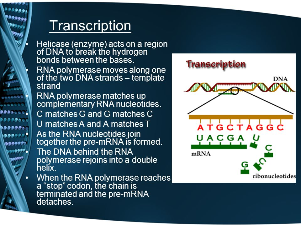 Transcription Helicase (enzyme) acts on a region of DNA to break the hydrogen bonds between the bases.