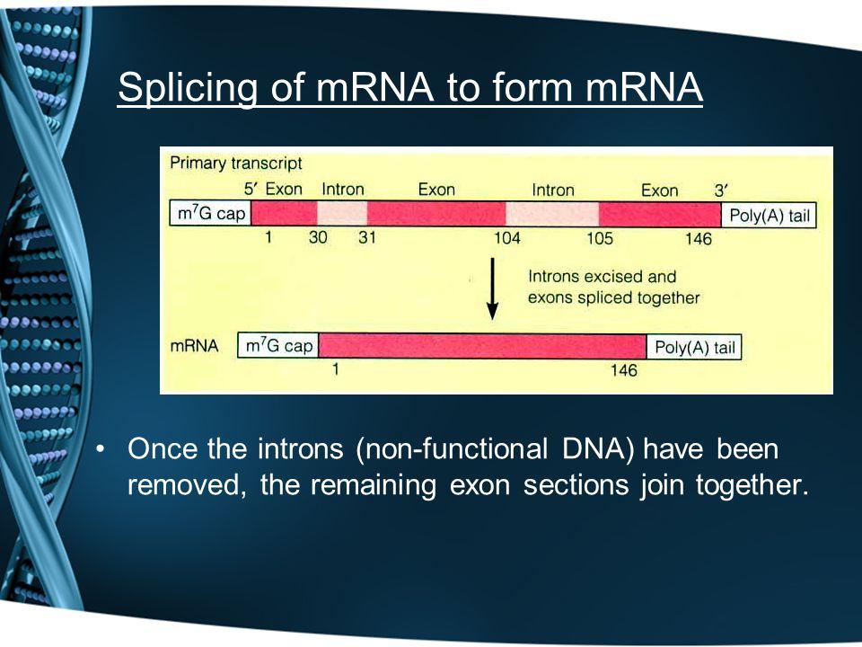 Splicing of mRNA to form mRNA