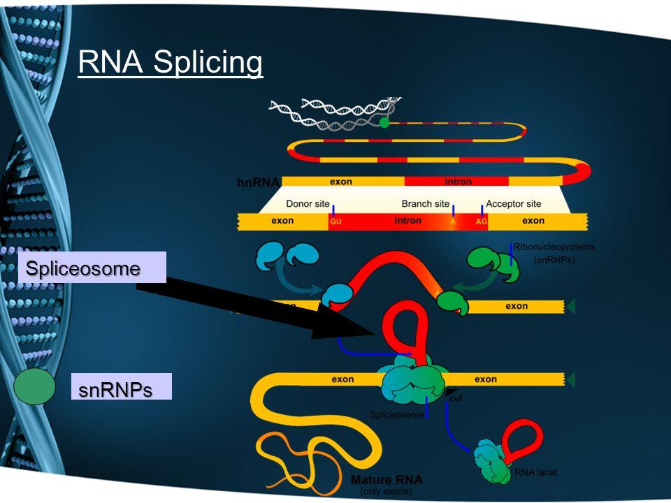 RNA Splicing Spliceosome snRNPs