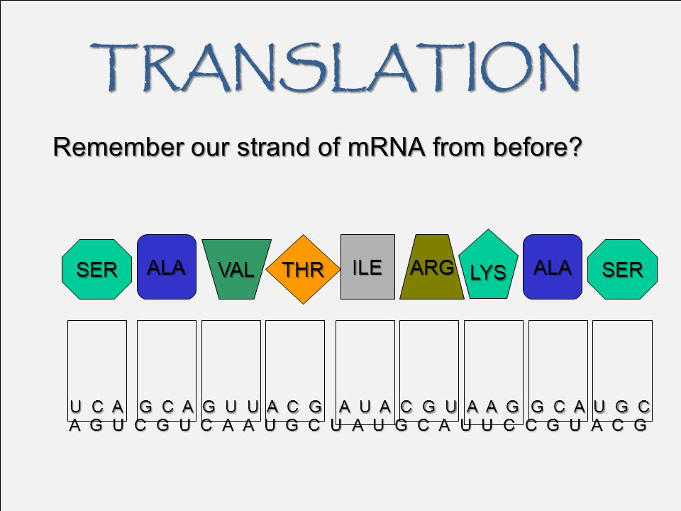 TRANSLATION Remember our strand of mRNA from before LYS ALA THR ILE