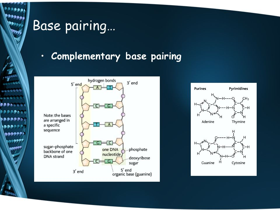 Base pairing… Complementary base pairing