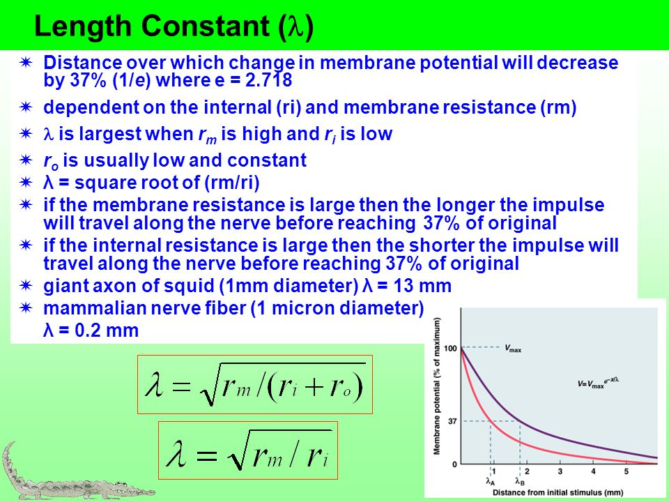 Length Constant (l) Distance over which change in membrane potential will decrease by 37% (1/e) where e = 2.718.