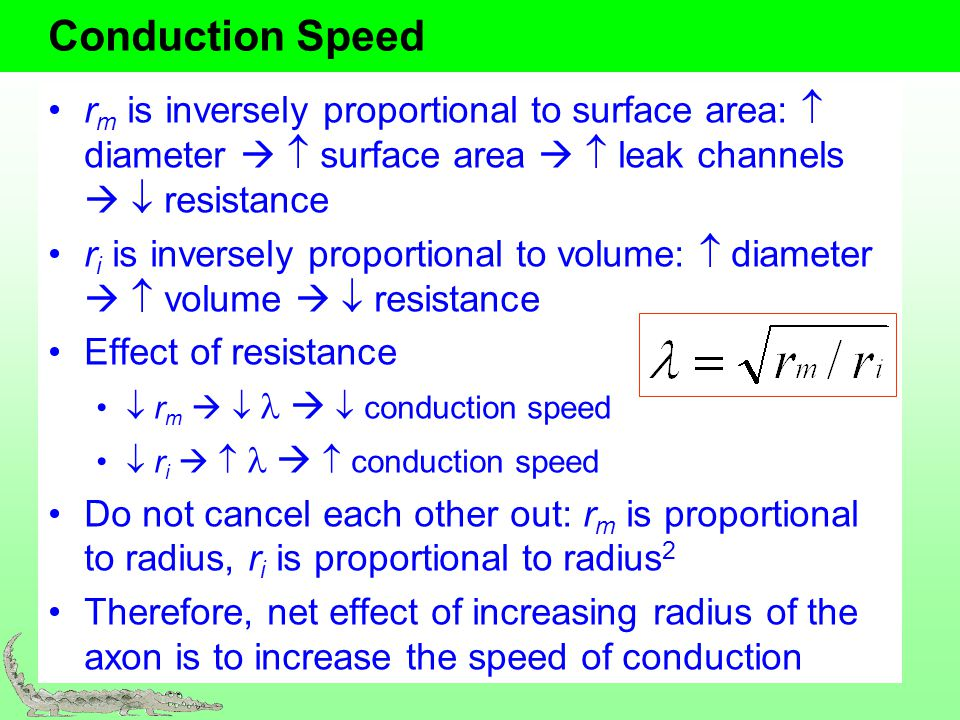 Conduction Speed rm is inversely proportional to surface area:  diameter   surface area   leak channels   resistance.