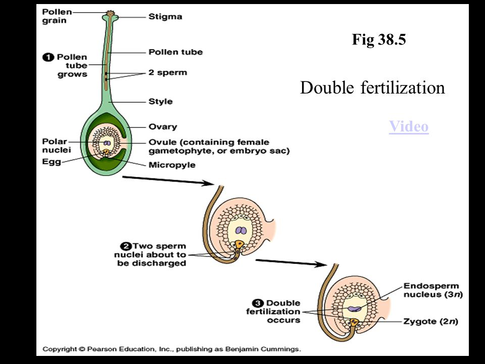 Fig 38.5 Double fertilization Video