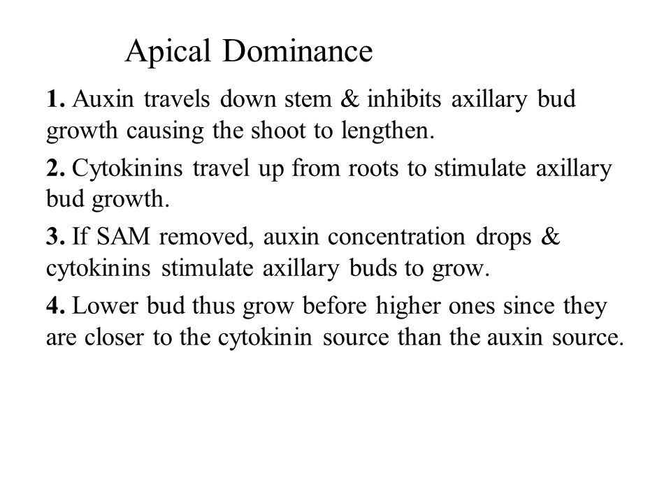 Apical Dominance 1. Auxin travels down stem & inhibits axillary bud growth causing the shoot to lengthen.