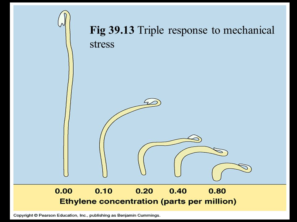 Fig 39.13 Triple response to mechanical stress