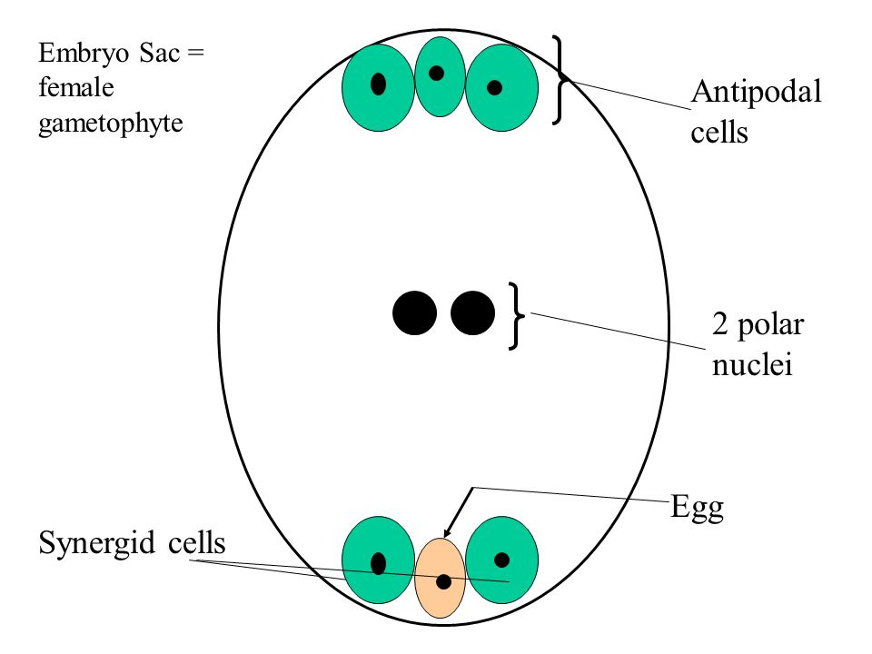Antipodal cells 2 polar nuclei Egg Synergid cells