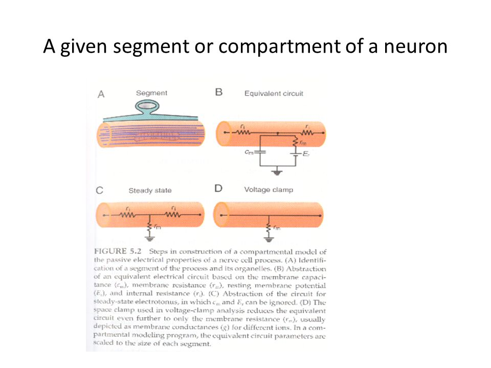 A given segment or compartment of a neuron