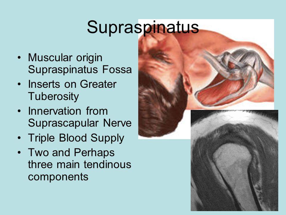 Supraspinatus Muscular origin Supraspinatus Fossa