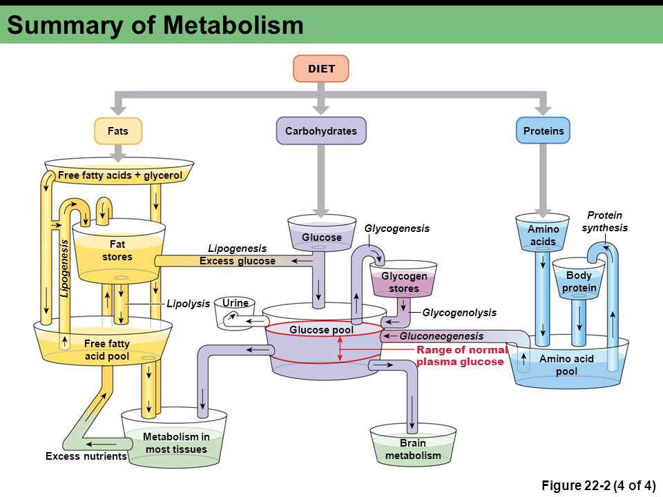 Metabolism in most tissues