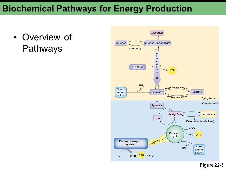 Biochemical Pathways for Energy Production