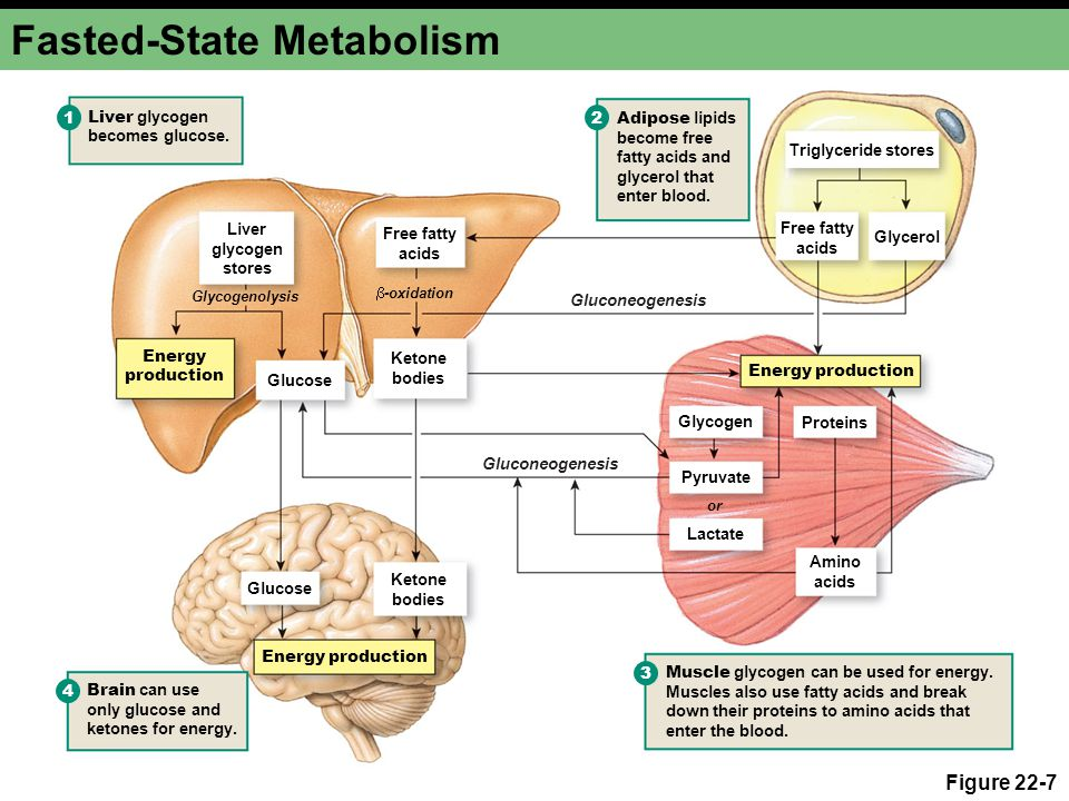 Fasted-State Metabolism