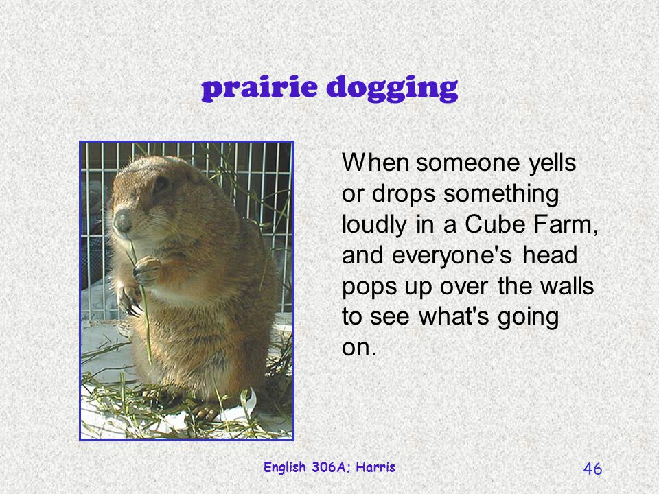 prairie dogging When someone yells or drops something loudly in a Cube Farm, and everyone s head pops up over the walls to see what s going on.
