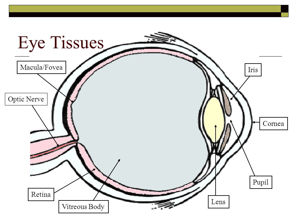 Eye Tissues Macula/Fovea Iris Optic Nerve Cornea Pupil Retina Lens