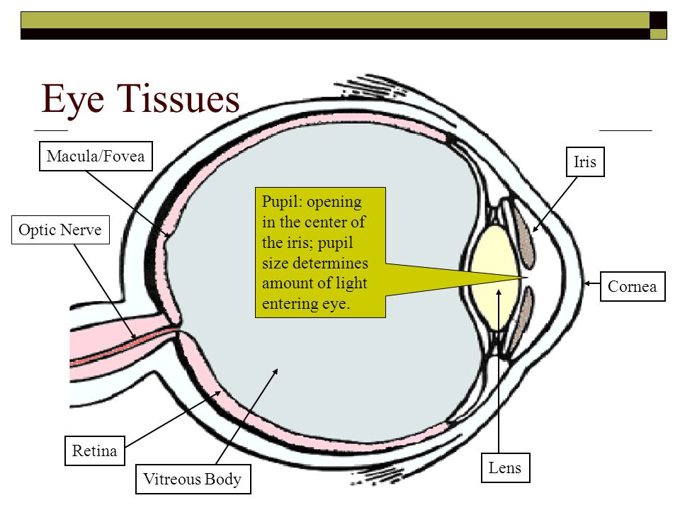 Eye Tissues Macula/Fovea Iris