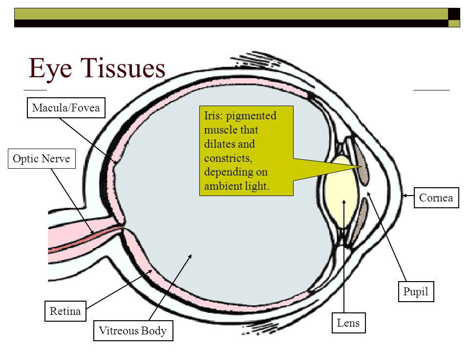 Eye Tissues Macula/Fovea