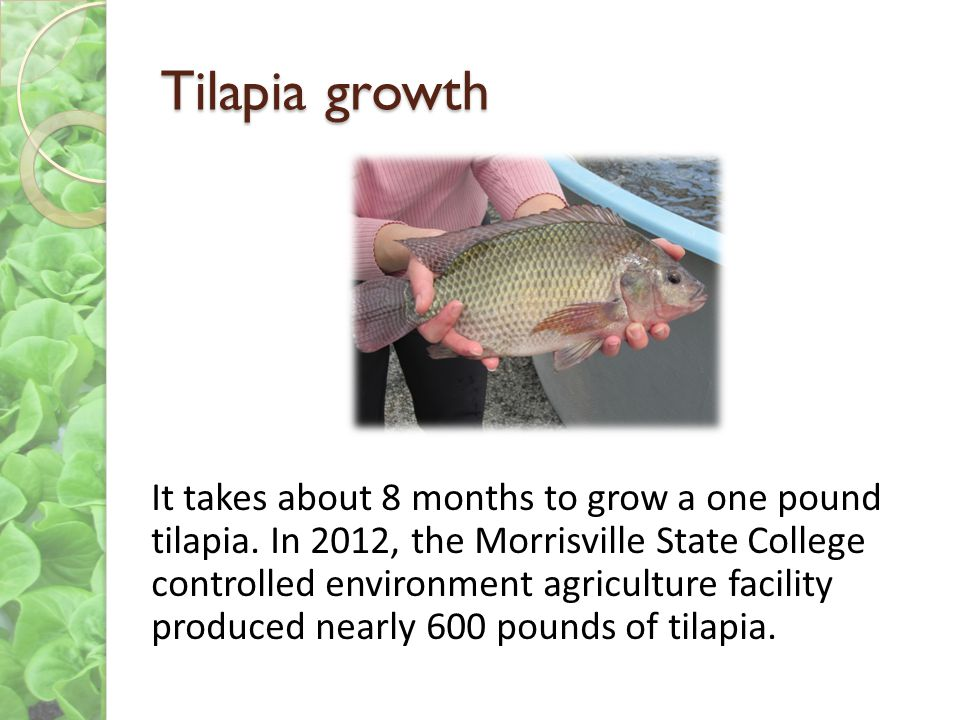 Tilapia growth