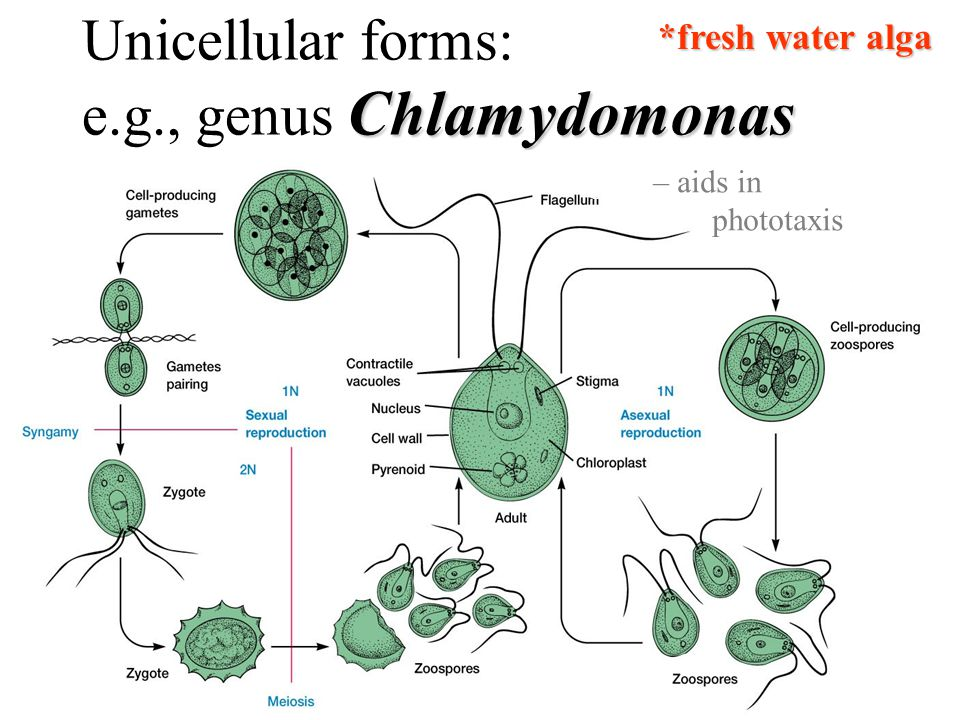 e.g., genus Chlamydomonas
