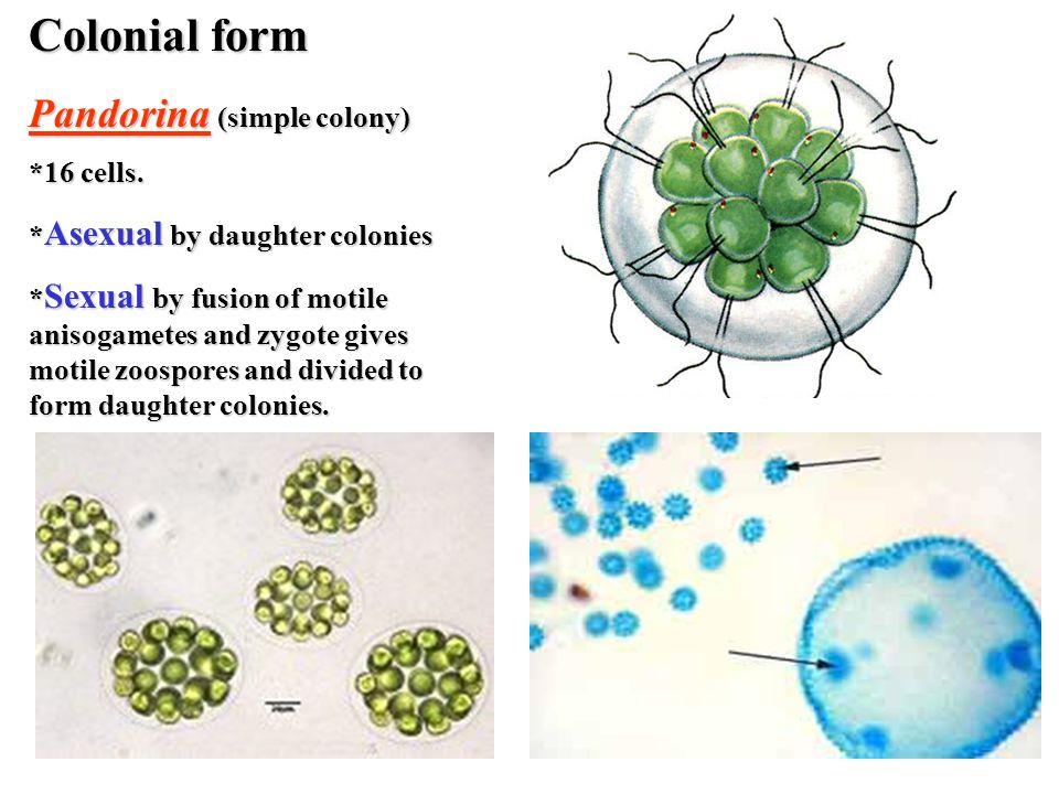 Colonial form Pandorina (simple colony) *16 cells.