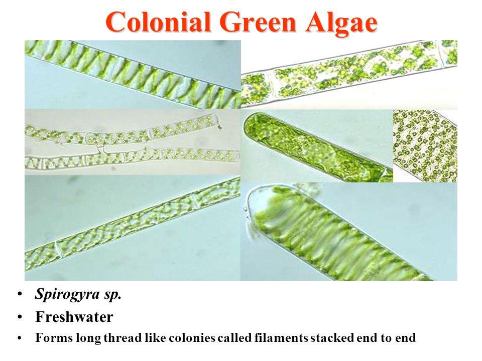 Colonial Green Algae Spirogyra sp. Freshwater