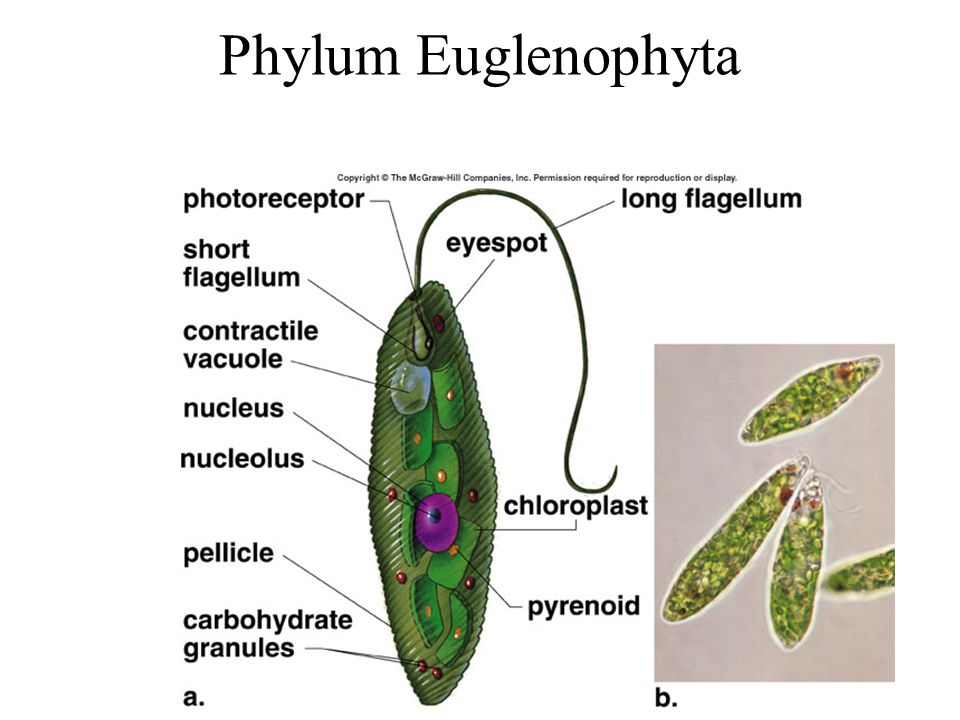 Phylum Euglenophyta