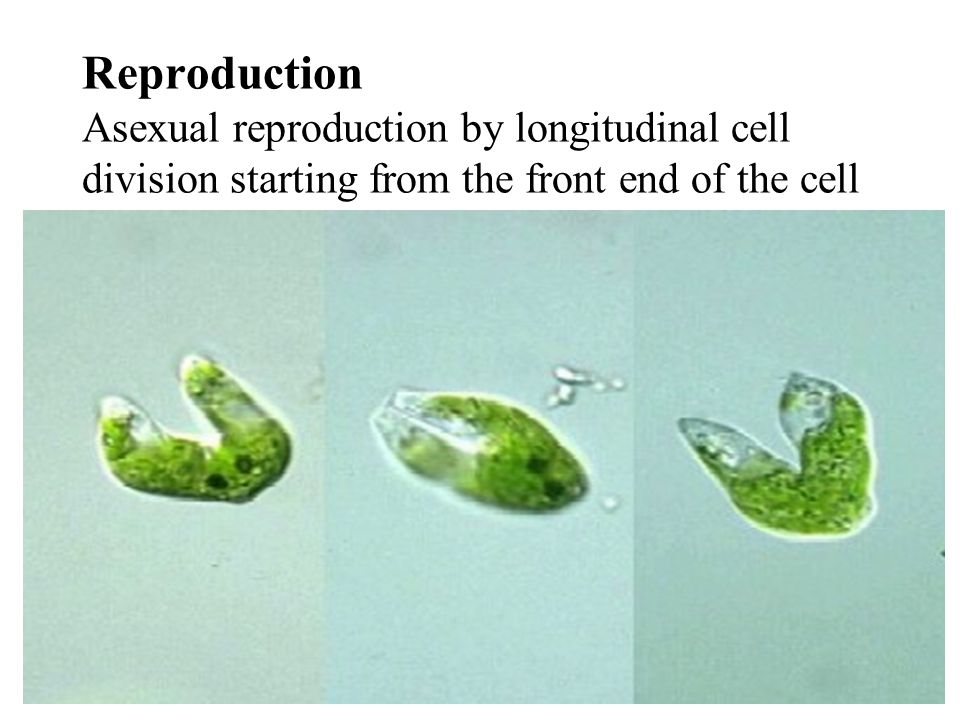Reproduction Asexual reproduction by longitudinal cell division starting from the front end of the cell