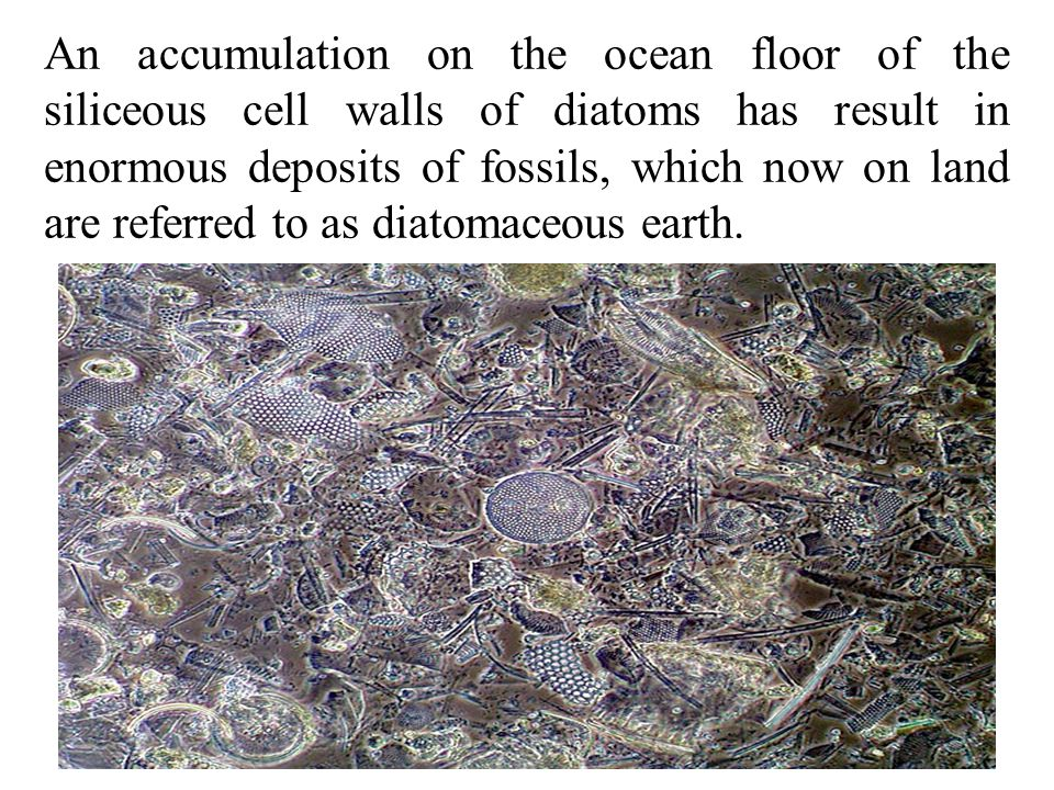 An accumulation on the ocean floor of the siliceous cell walls of diatoms has result in enormous deposits of fossils, which now on land are referred to as diatomaceous earth.