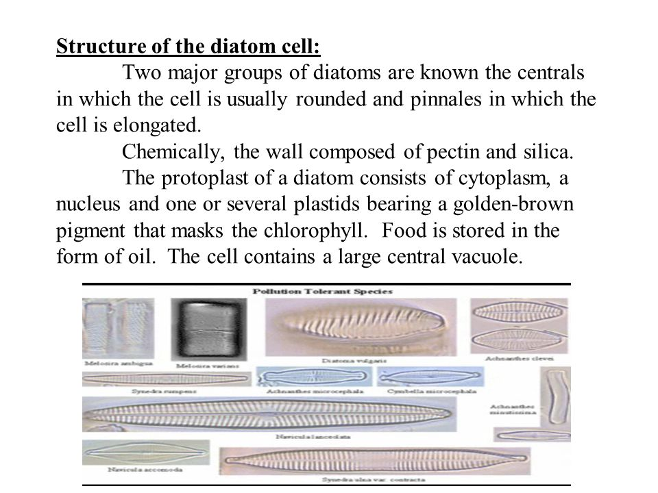 Structure of the diatom cell: