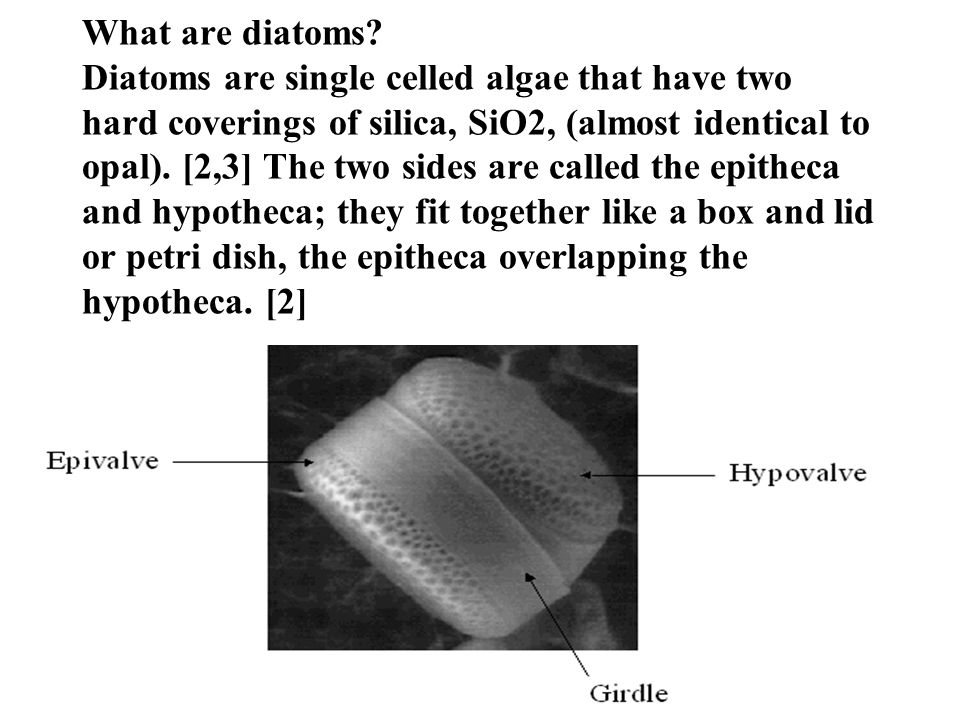 What are diatoms.