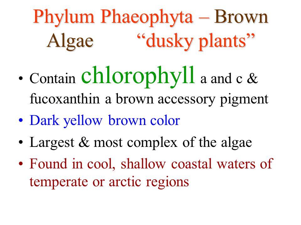 Phylum Phaeophyta – Brown Algae dusky plants
