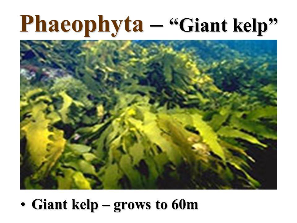 Phaeophyta – Giant kelp