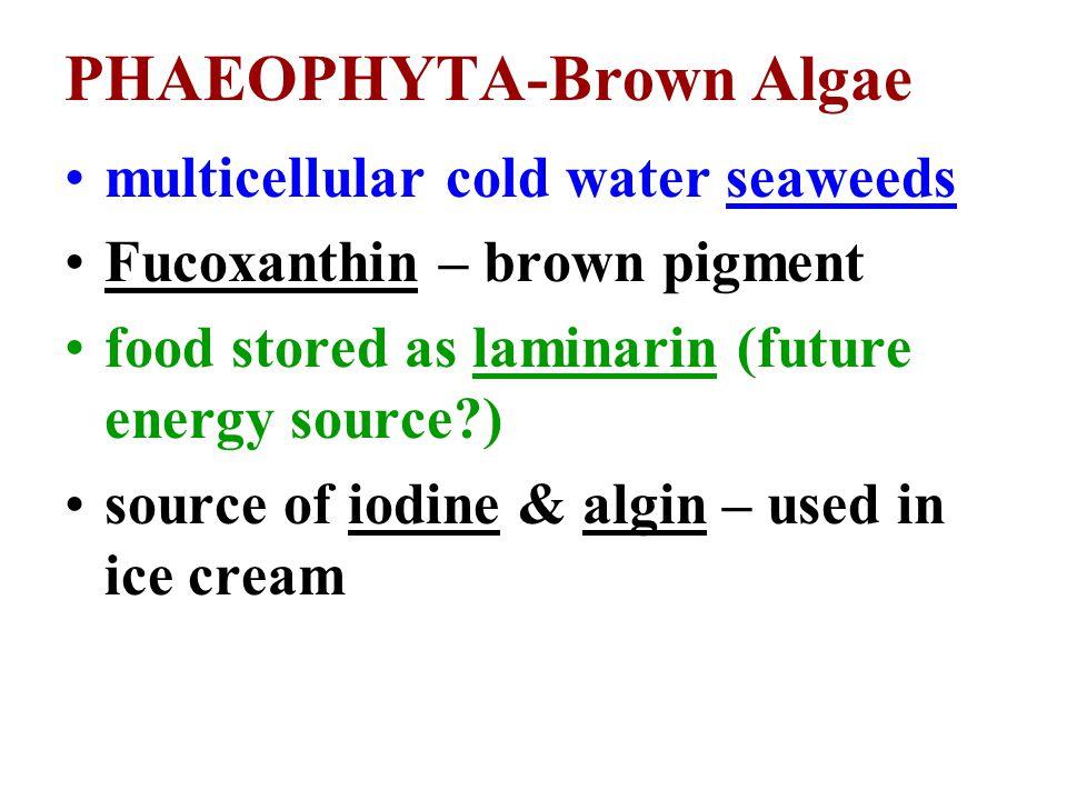 PHAEOPHYTA-Brown Algae