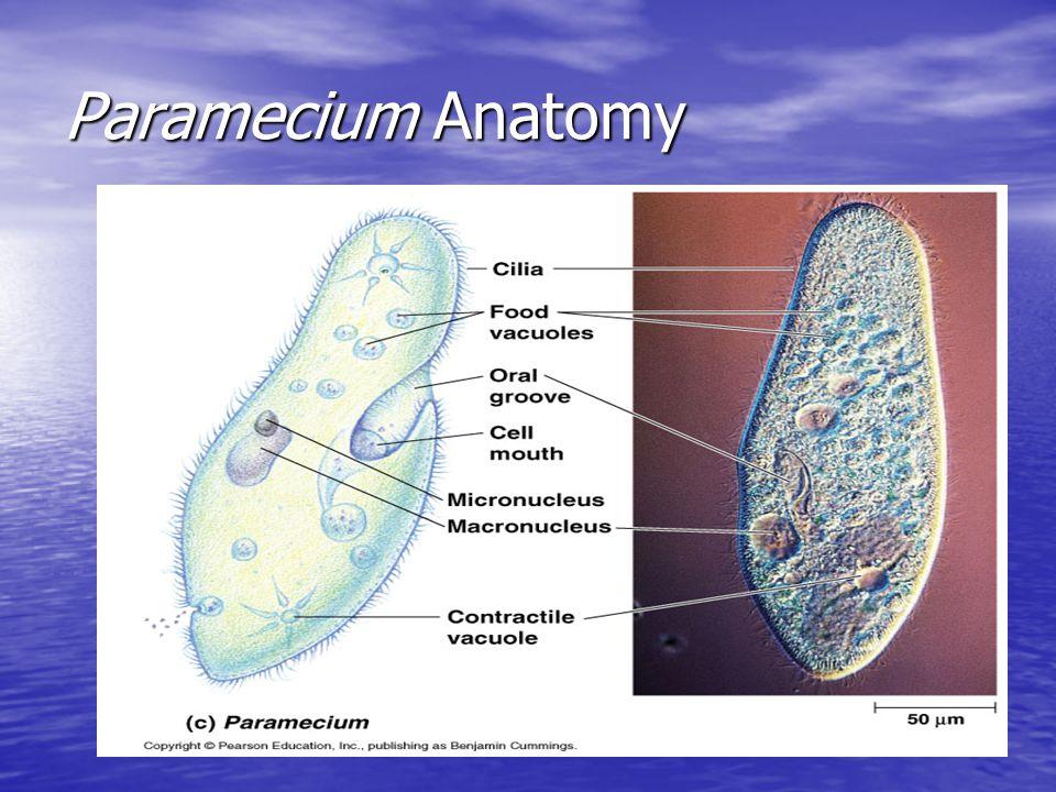 Paramecium Anatomy
