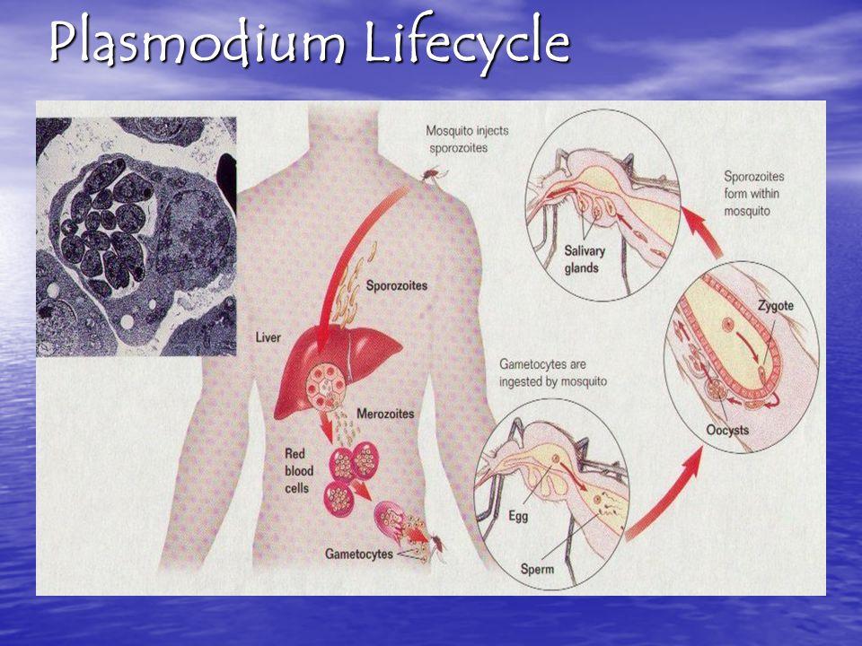 Plasmodium Lifecycle