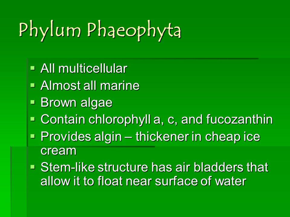 Phylum Phaeophyta All multicellular Almost all marine Brown algae
