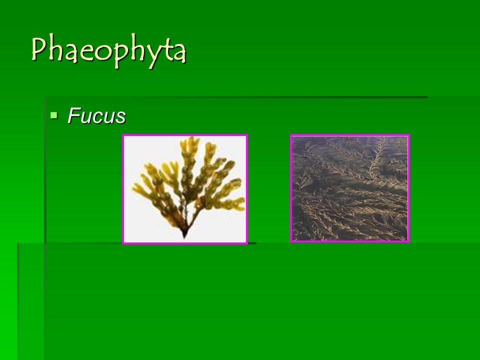 Phaeophyta Fucus
