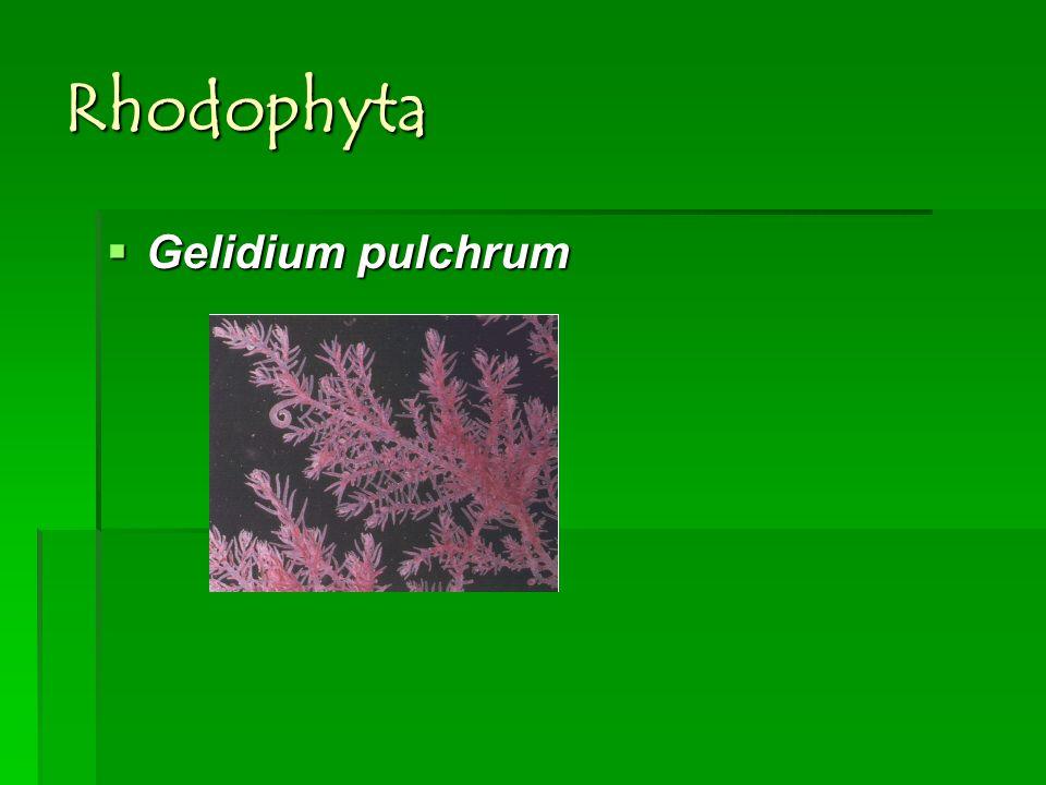 Rhodophyta Gelidium pulchrum