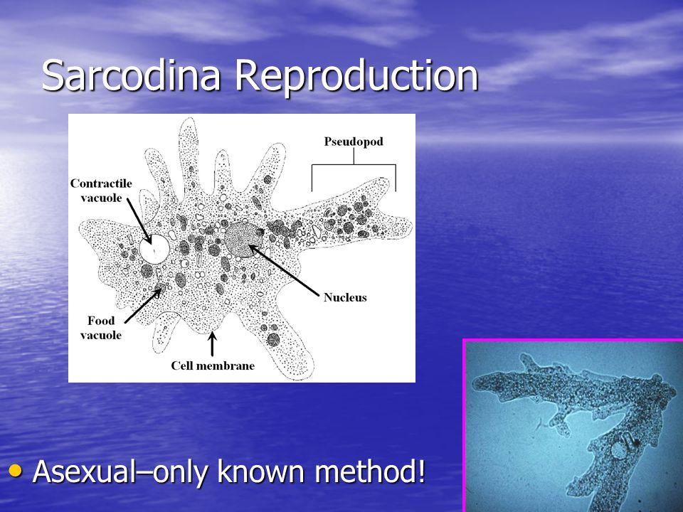 Sarcodina Reproduction
