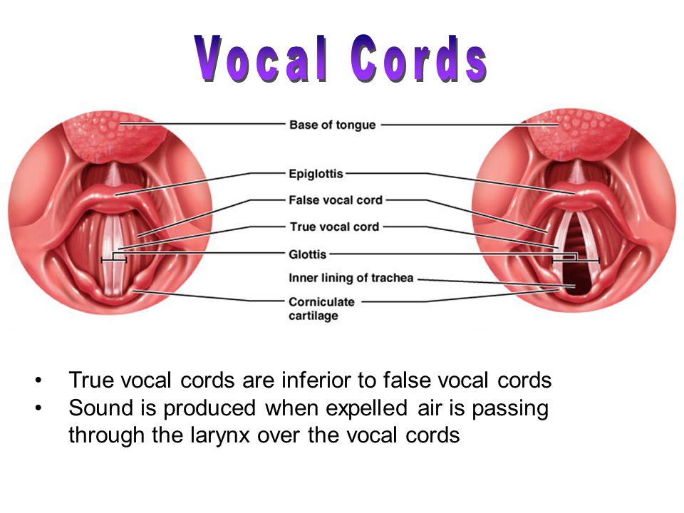 Vocal Cords True vocal cords are inferior to false vocal cords