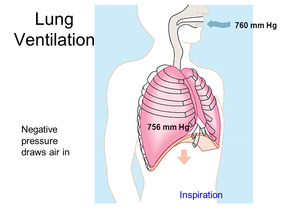 Lung Ventilation Negative pressure draws air in Inspiration 760 mm Hg