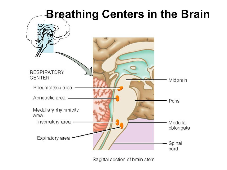 Breathing Centers in the Brain