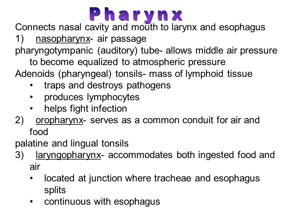 Pharynx Connects nasal cavity and mouth to larynx and esophagus