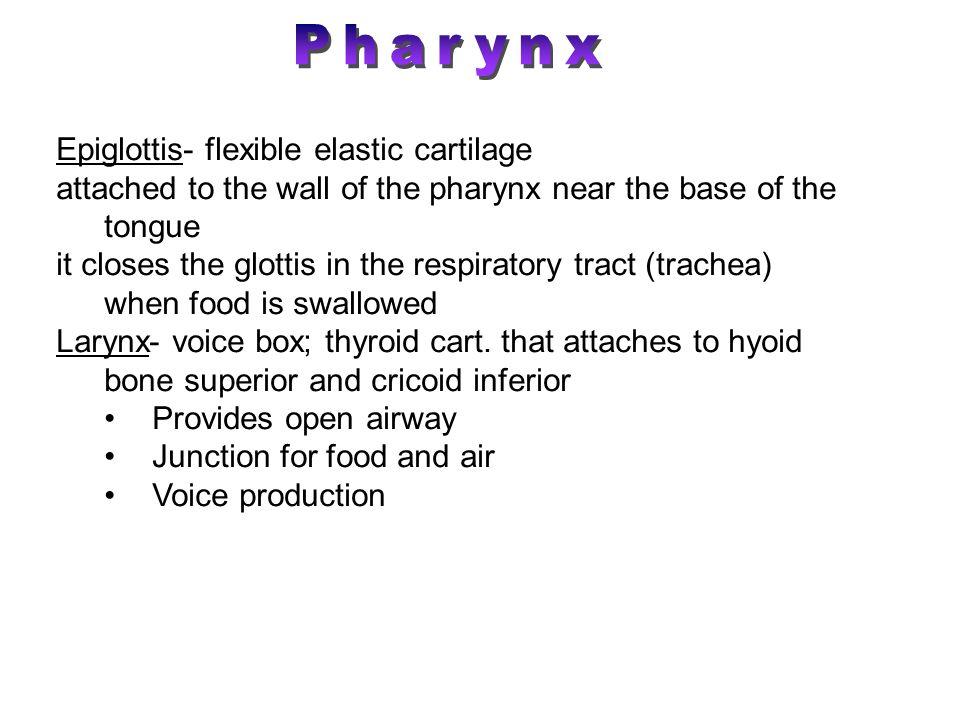 Pharynx Epiglottis- flexible elastic cartilage