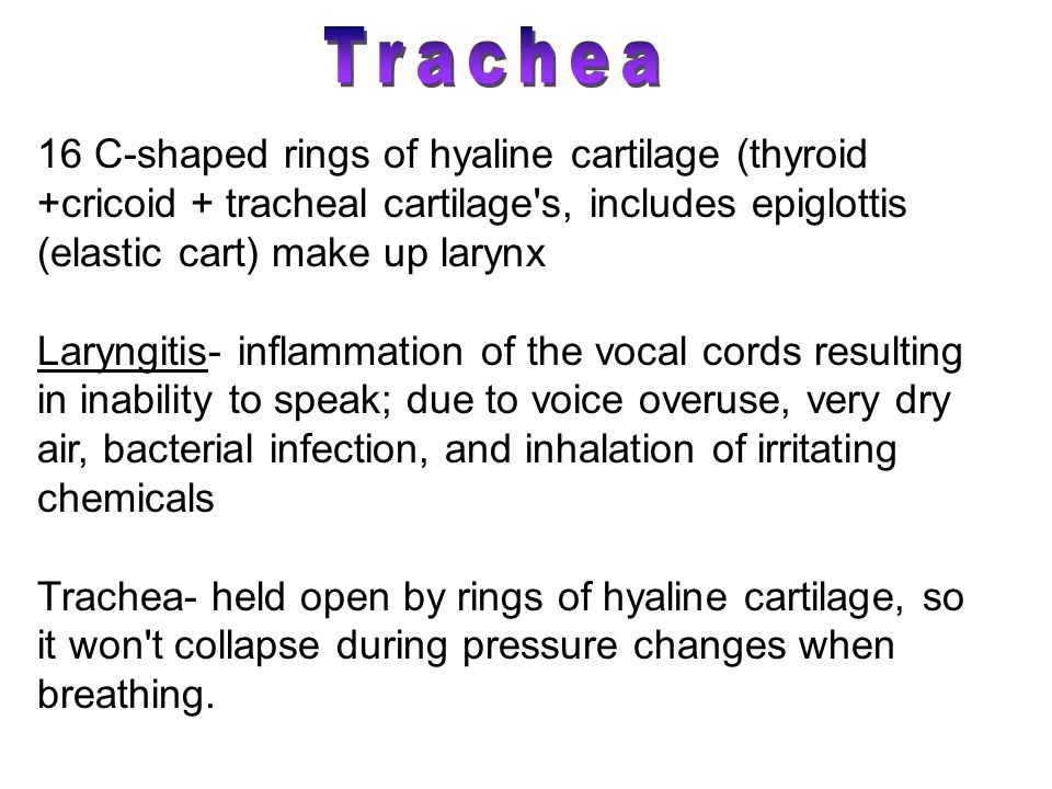 Trachea 16 C-shaped rings of hyaline cartilage (thyroid +cricoid + tracheal cartilage s, includes epiglottis (elastic cart) make up larynx.