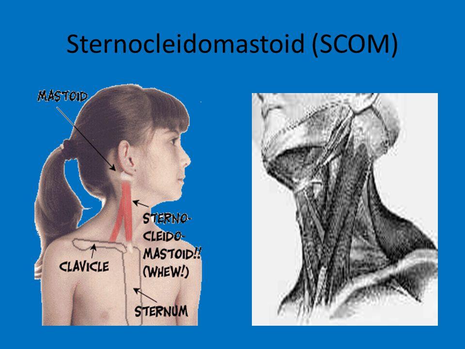 Sternocleidomastoid (SCOM)