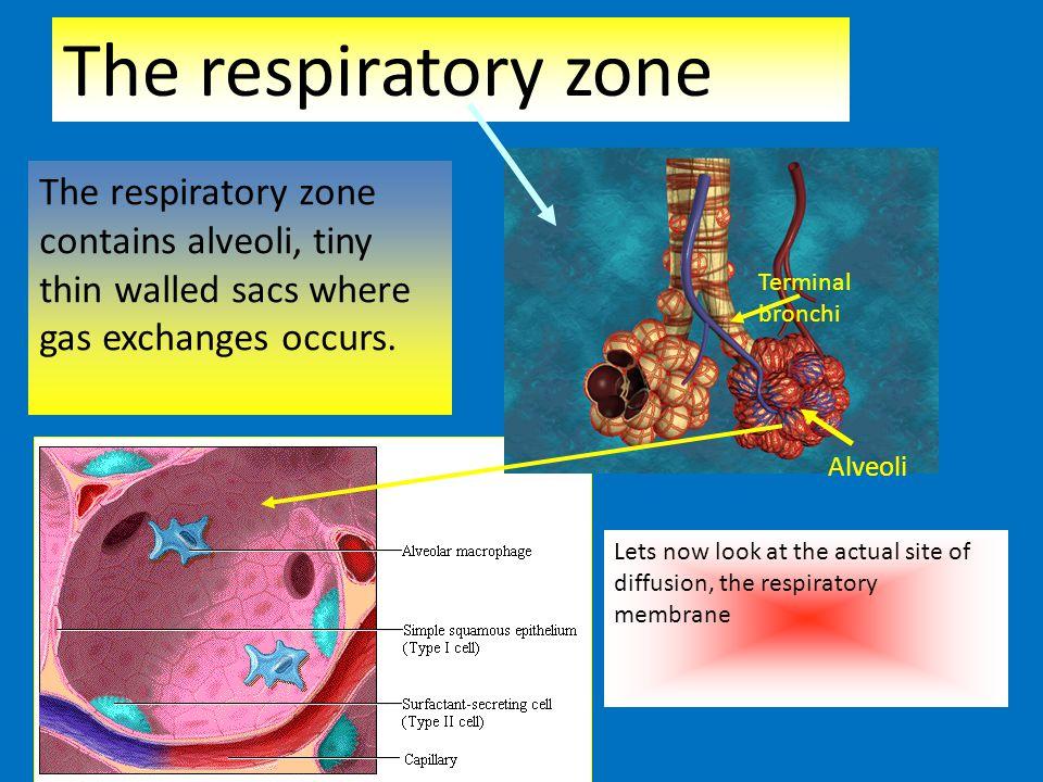The respiratory zone The respiratory zone contains alveoli, tiny thin walled sacs where gas exchanges occurs.