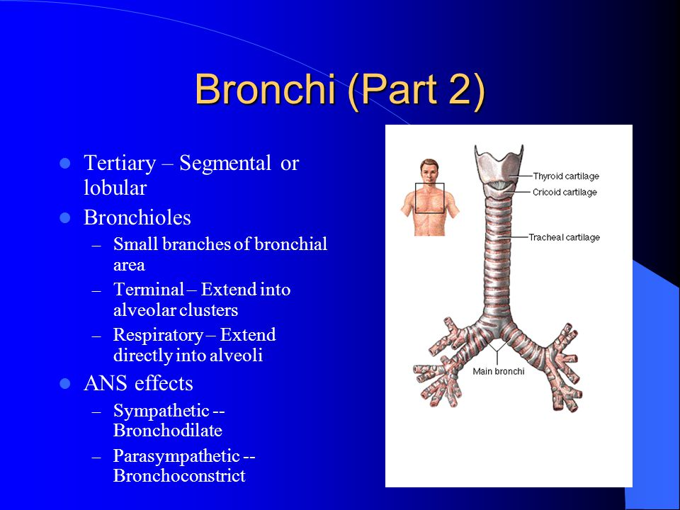 Bronchi (Part 2) Tertiary – Segmental or lobular Bronchioles