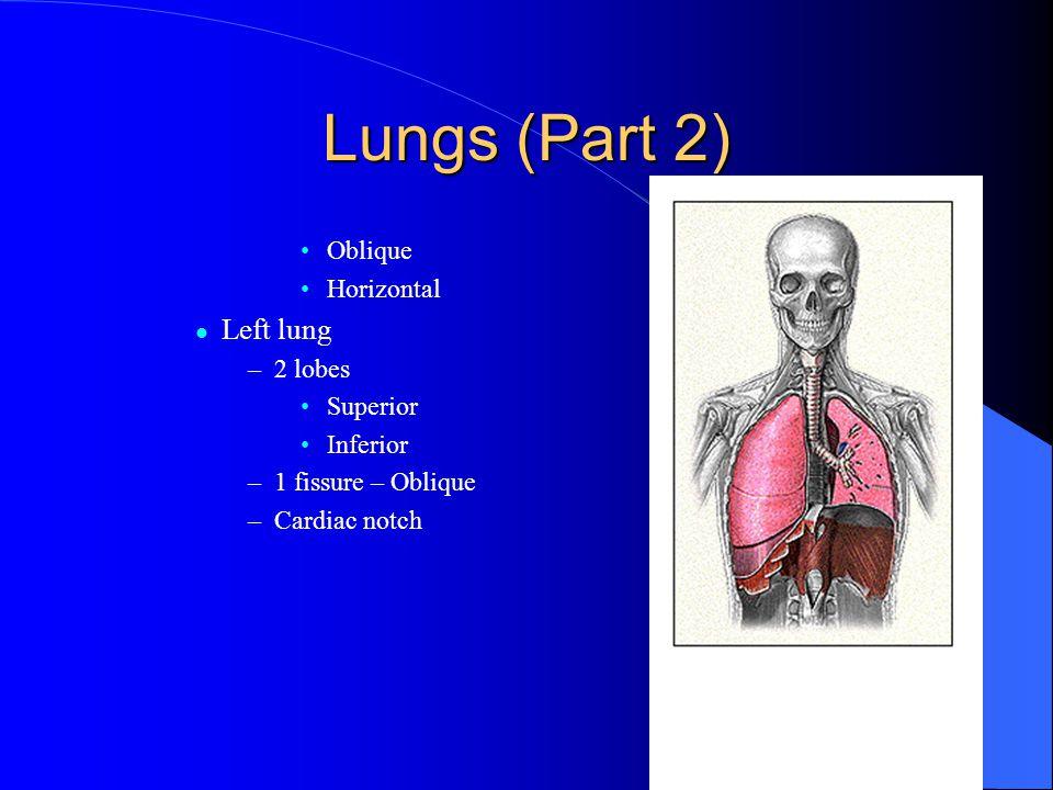 Lungs (Part 2) Left lung Oblique Horizontal 2 lobes Superior Inferior
