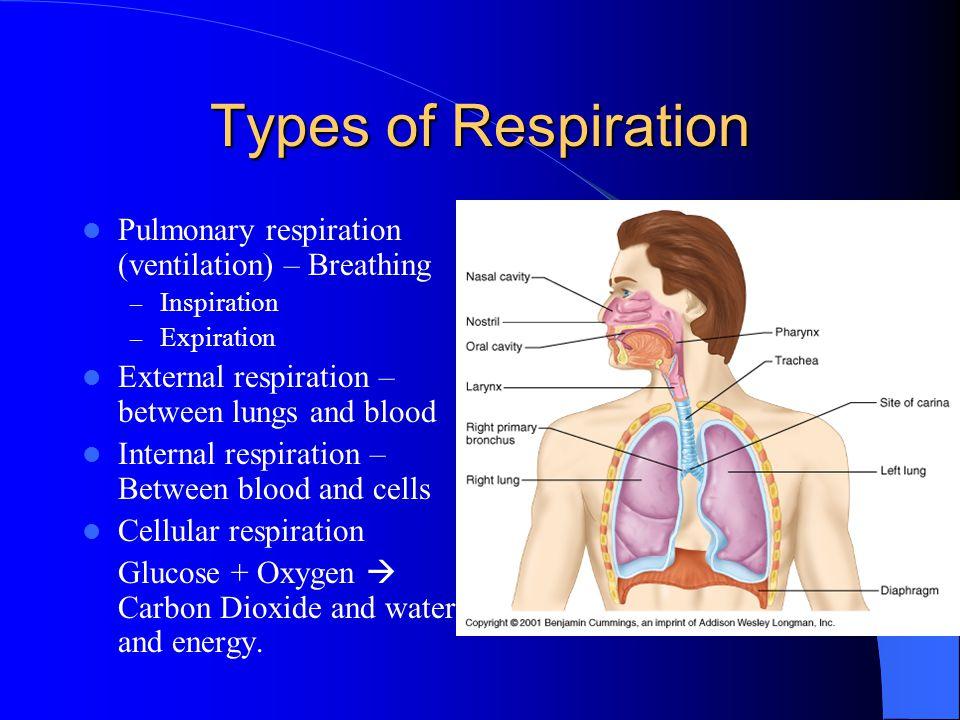 Types of Respiration Pulmonary respiration (ventilation) – Breathing