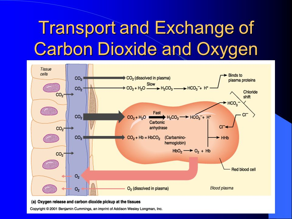 Transport and Exchange of Carbon Dioxide and Oxygen